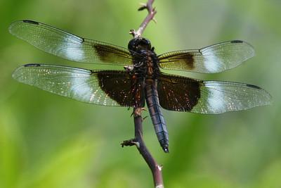 Brown Head Dragonfly Longwood Gardens, N.J.