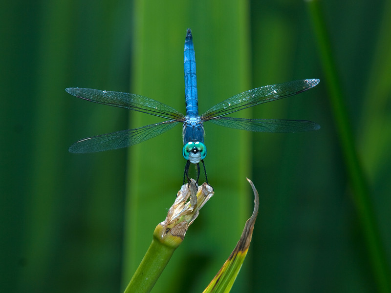 P7175065_BlueDragonfly