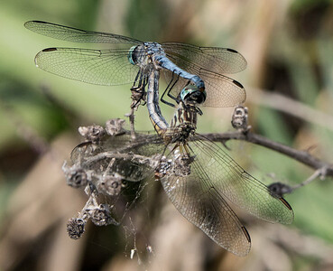 Mating Pair -  Pachydiplax longipennis