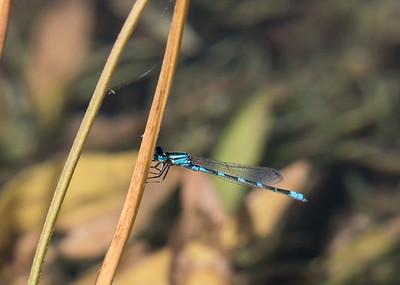 Tule Bluet - Enallagma carunculatum (M)