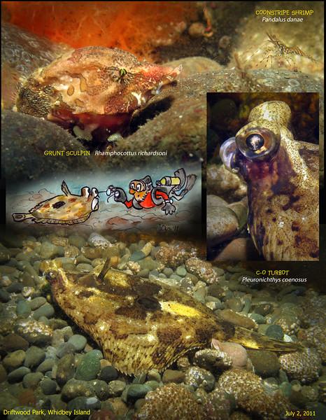 GRUNT SCULPIN( Rhamphocottus richardsoni ), C-O TURBOT( Pleuronichthys coenosus ).<br /> Driftwood Park, Whidbey Island. July 2, 2011