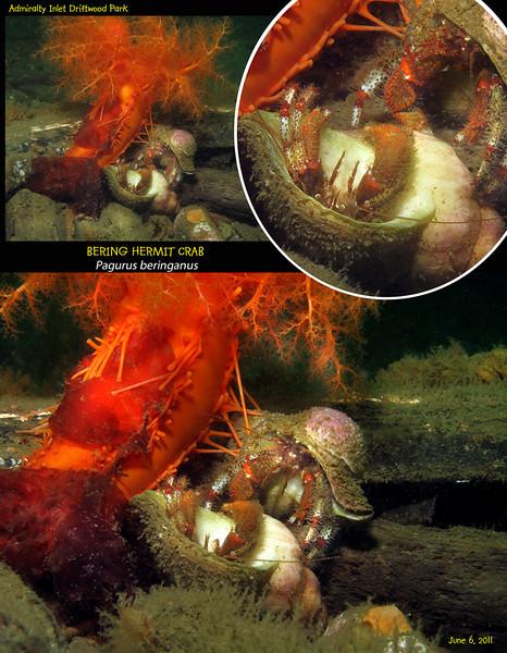 BERING HERMIT CRAB ( Pagurus beringanus ).<br /> Admiralty Inlet Driftwood Park, Whidbey Island. June 6, 2011