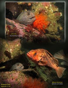 Juvenile WOLF-EEL( Anarrhichthys ocellatus ),  BROWN ROCKFISH( Sebastes auriculatus ).  Driftwood Park, Admiralty Inlet, Whidbey Island. September 9, 2011