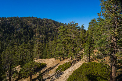 Pine Trees in San Gabriel Mountains