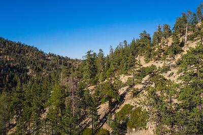 Ridge of Green Pine Trees