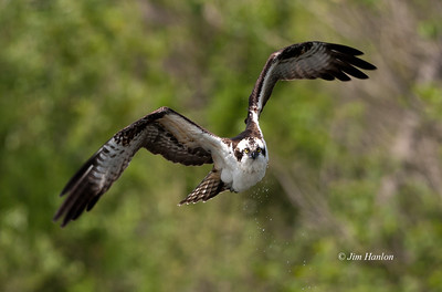 Osprey (Pandion haliaetus), Sepulveda Wildlife Refuge