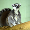Ring Tailed (Vampire?) Lemur