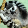Curled up Ring Tailed Lemur