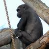 Climbimg Gorilla