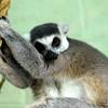 Sleepy Ring Tailed Lemur