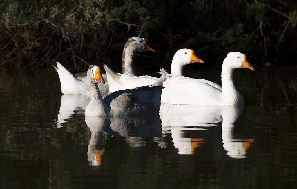 IMAGE: http://icassell.smugmug.com/Other/Ducks-Geese-Swans/i-wLjsqqZ/0/O/IMG7507.jpg