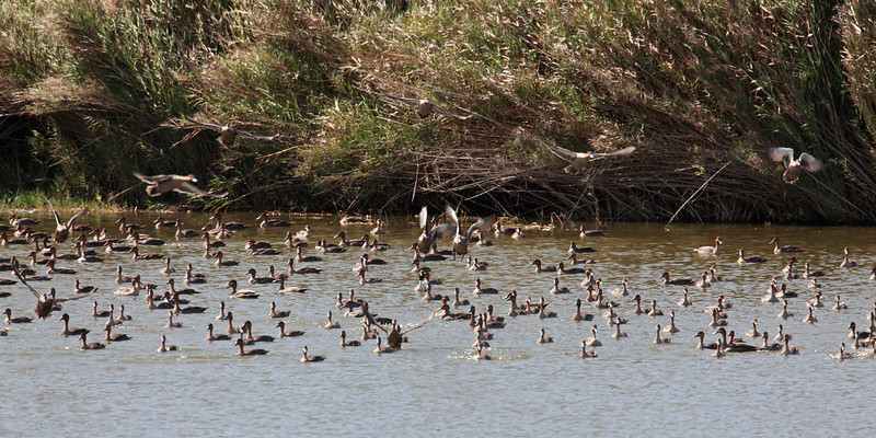Philippine ducks in one pond with a male Northern Pintail on December 27, 2011