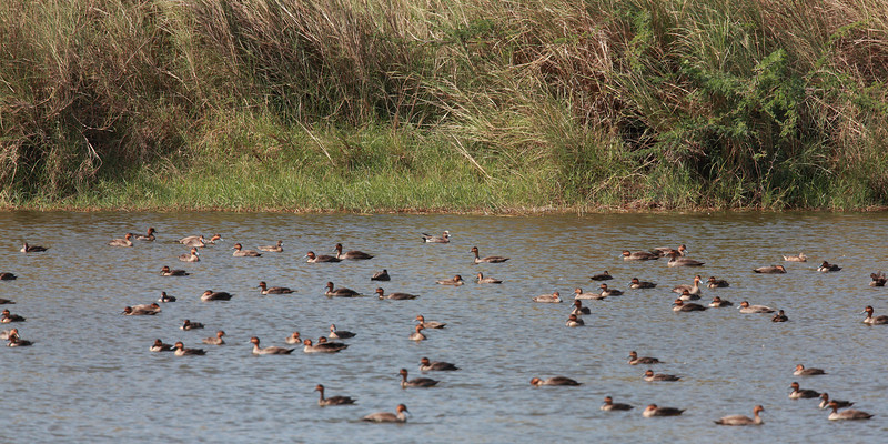 More Philippine ducks with 3 Eurasian Wigeons.