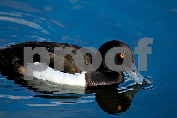 Ducks (Wales & England): Pack 1