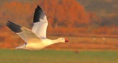 Snow Goose (Bosque del Apache NWR)