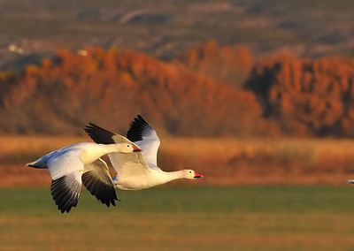 Snow Geese (Bosque del Apache NWR)