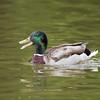 Happy Male Mallard Duck