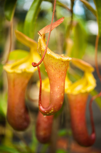 Nepenthes breeder, Sam Estes, of Leilani Hapu'u Nursery on the Big Island is thought to have the largest collection of Carnivorous pitcher plants in the world. Photographed at his Pahoa home nursery January 3, 2013.