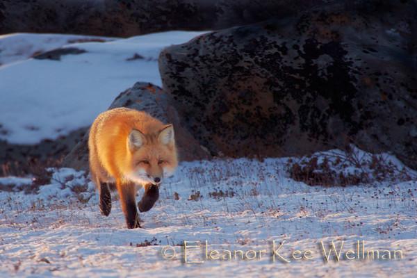 Red Fox Honing In