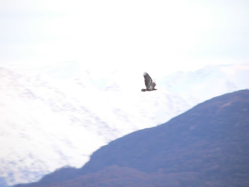 One of three eagles flying above the Knik River.