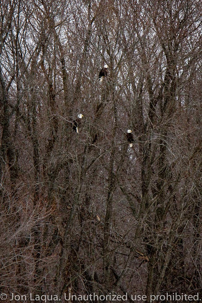 Looking across the river at some of the bald eagles. Wabasha, MN.