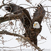 Bald eagle in Red Wing, MN.