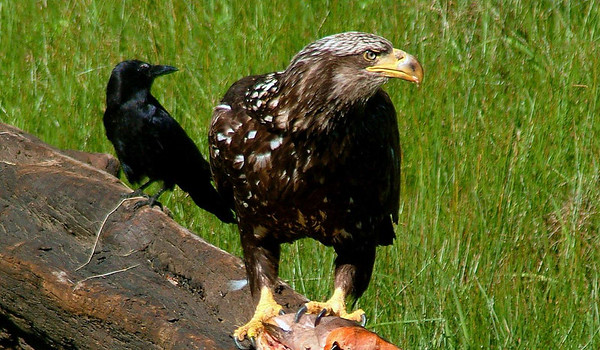 Eagles and Friends
