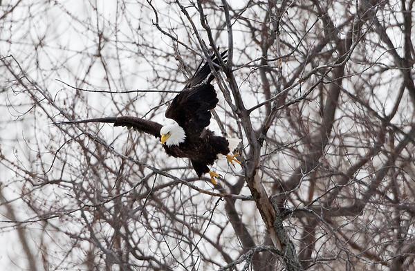 Eagles on the DesPlaines River in Riverside, IL