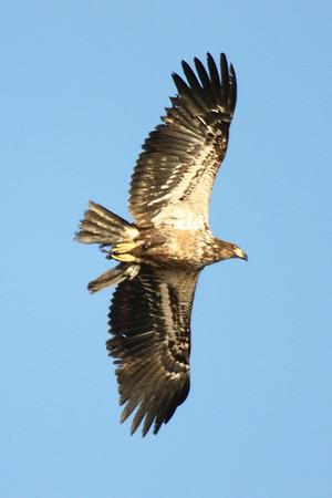 Eagles, wildlife