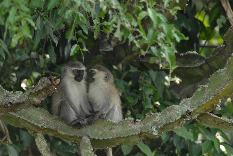 Vervet monkeys, Uganda.