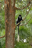 Colobus monkey, Western Uganda.