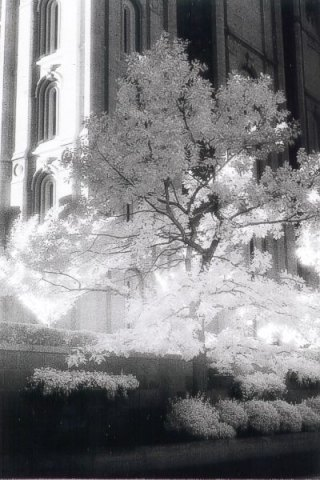 "This is from Cly's very first roll of Kodak HIE infared film. Cly had experimented with Ilford's 200 SFX film (""pseudo-infrared"" film) before with boring results. Cly feels fortunate to have this shot becuse many of the shots on the roll were fogged due to heat. Cly had to use his old Canon AE-1 because his newer Canon EOS 300 used an infrared sensor to assist in the film winding; additionally, there is a window in the back of the body to show the film cannister - both detrimental to infrared film!