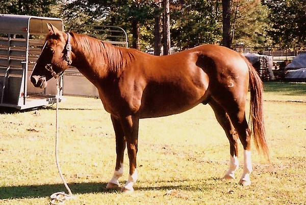 HIP #79 TAMU C PAPAS HICKORY