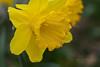 Daffodil - Emerged