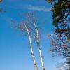 Birch trees at Lake Hughes