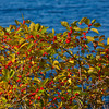 Berries at Lake Hughes