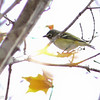 Blue-headed Vireo, Charlottesville VA, 8 Nov 2014