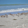 Red Knots, Bowmans Beach, Sanibel Island Florida, 5 May 2014