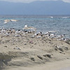 Roseate Terns (with a few Sandwich Terns), Cayo Arena, Cayos Cochinos Honduras, 12 Aug 2005 (photo by Eloise Canfield)