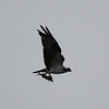 Osprey, 23 December 2012, Melton Lake, Oak Ridge Tennessee