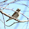 Purple Finch, Charlottesville VA, 8 Nov 2014