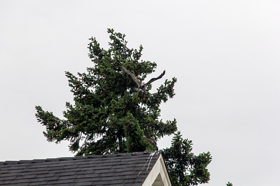 Eagle Perch Tree Use at Eby Rd., Lantzville