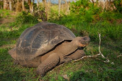 Galápagos giant tortoise (Chelonoidis nigra).  Santa Cruz, Galapagos Islands, Ecuador.