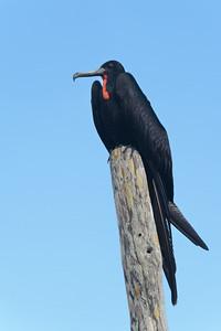 Magnificient Frigatebird