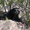 Bear, Andean - P1020491