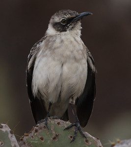 Galapagos Mockingbird  Galapagos Islands 2016 06 13-4.CR2