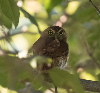 Pacific Pygmy Owl Manglares Churute Ecological Reserve Ecuador 2016 06 11 -1.CR2-2.CR2