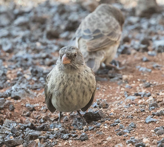 Medium Ground-Finch Genovesa Island Galapagos Islands 2016 06 12-1.CR2