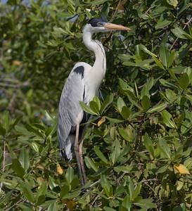 Cocoi  Manglares Churute Ecological Reserve Ecuador 2016 06 11 -1.CR2