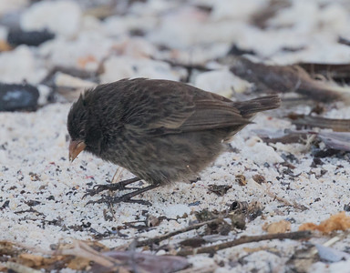 Sharp-beaked Ground Finch Bartolome Island  Galapagos Islands  2016 06 13 -1.-1.CR2